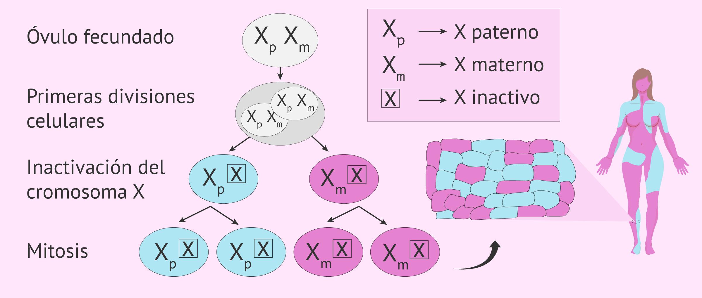 Patrón de inactivación del cromosoma X