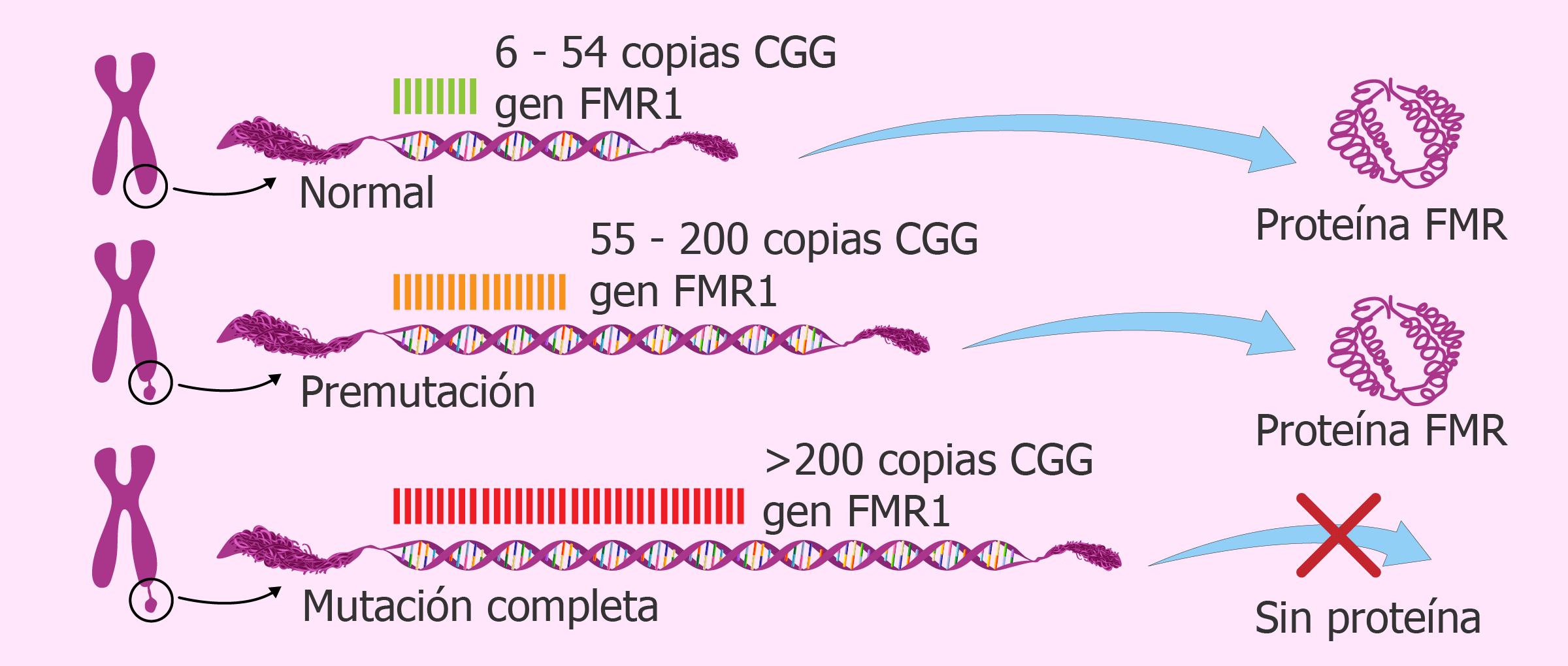 Repeticiones triplete CGG